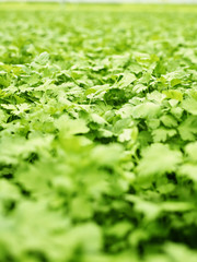 Close-up of growing parsley