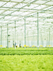 Lush green sprouts in farming plant