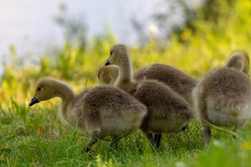 Baby Canada Geese (Goslings)