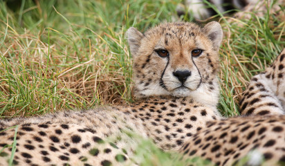 Young wild cheetah cat with beautiful spotted fur