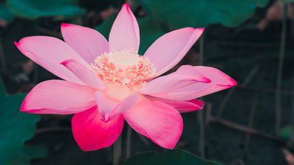 Lotus background photos royalty free images graphics vectors fresh pink lotus flower close focus of a beautiful pink lotus flower ais blooming mightylinksfo