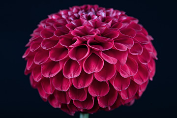 Keuken foto achterwand Dahlia Beautiful red dahlia