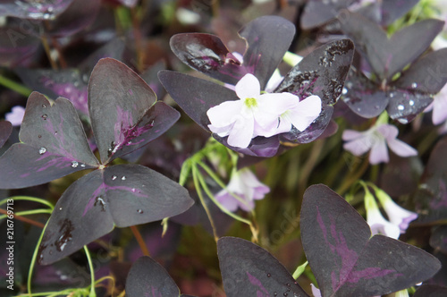 Oxalis regnellii atropurpureum plant with purple foliage and white oxalis regnellii atropurpureum plant with purple foliage and white flowers mightylinksfo