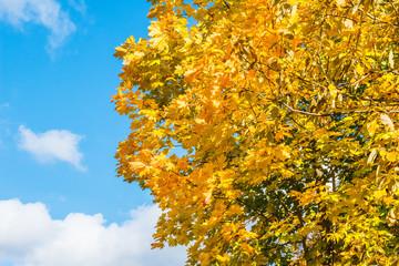 Orange maple tree against the blue sky. Beautiful autumn photo
