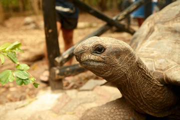 Portrait large old Galapagos tortoise close up