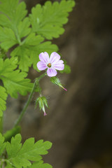 Herb robert geranium flower in Giuffrida Park in Meriden, Connecticut.