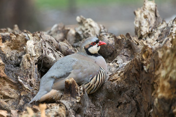 Chukar partridge (Alectoris graeca) resting on a log. Alectoris chukar is very similar to European rock partridge.
