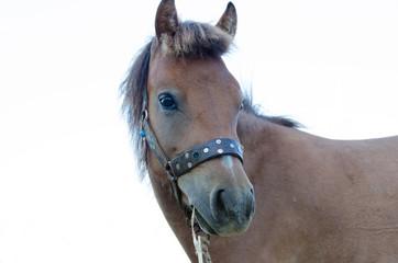 Skyrian small horse