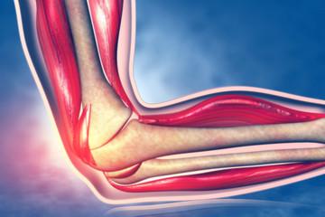 Anatomy of human elbow