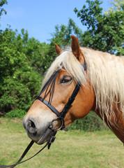 Portrait of a Haflinger horse