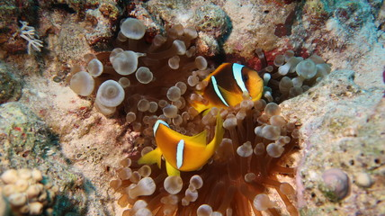 Cute Anemone or Clown fishes or Nemos hiding protected by their Anemone
