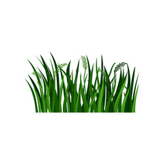 Flat vector illustration of bright green grass with spikelets. Landscape element. Natural border for poster or banner