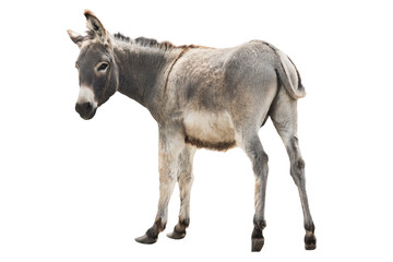 Poster Ezel donkey isolated a on white