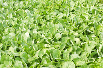 Fresh sprouts of young cabbage prepared for the landing in the field. agriculture, vegetables, eco-friendly agricultural products, agroindustry