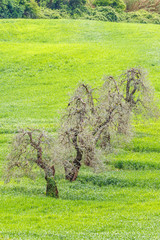 Old olive trees in a green field