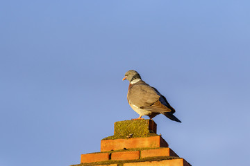 Pigeon on a chimney against a blue sky