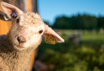 Lofoten Sheep