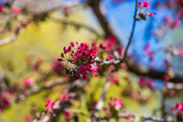 View of blooming red bud tree, spring time