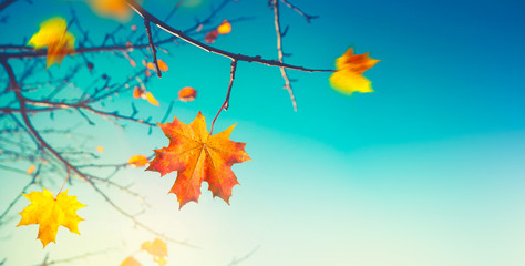 Wall Mural - Autumn background. Last maple leaf on a branch against a blue turquoise sky background glows in the sun close-up in nature outdoors. Autumnal pattern, copy space.
