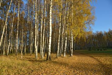 Garden Poster Birch Grove Birches in autumn park