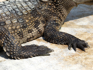 foot of a crocodile