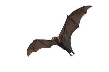 Bat flying isolated on white background (Lyle's flying fox,Pteropus lylei)
