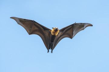 Bat flying (Lyle's flying fox ,Pteropus lylei)