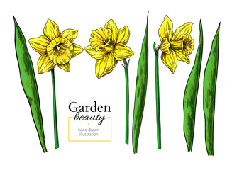 Daffodil flower and leaves drawing. Vector hand drawn floral object set.