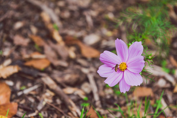 pink cosmo daisy with bee
