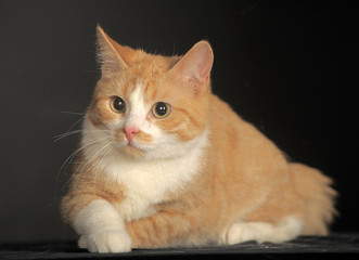 portrait of a beautiful red with a white cat on a dark background