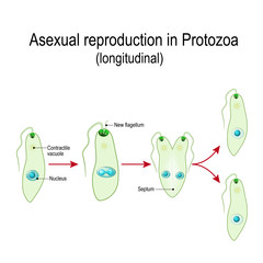 Fission or Asexual reproduction in Euglena