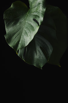 close-up view of green wet monstera leaves isolated on black