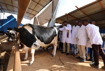 Abdirahman Bare Dubad a Veterinary doctor and his students from the Somali National University check a Holstein Friesian cow at the Som milk farm in the outskirts of Mogadishu