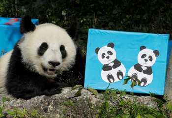 Giant Panda cub Fu Ban rests next to a parcel containing food on its second birthday at Schoenbrunn Zoo in Vienna