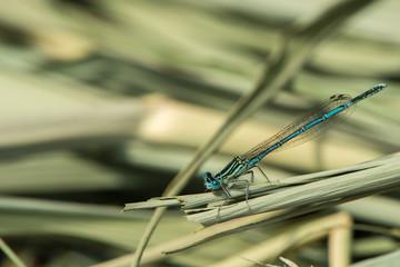 Azurjungfer sitzt auf einem Schilfblatt