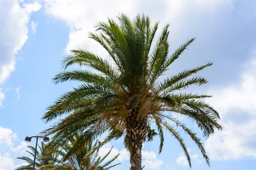 high green palm tree against blue sky and clouds