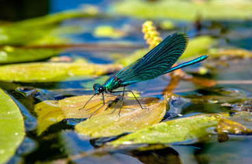 Beautiful Demoiselle sits on the river grass