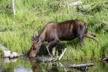 Shiras Moose in the Rocky Mountains of Colorado