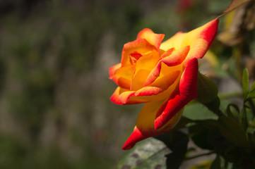Rosa effetto fuoco