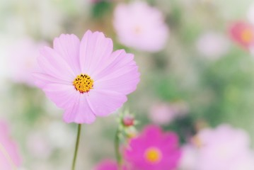 Wall Mural - pink cosmos flower blooming in the field.