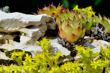 Kleiner Steingarten Mit Hauswurz