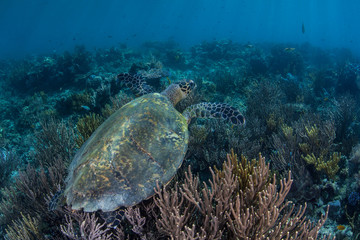 Coral Reef and Endangered Hawksbill Sea Turtle