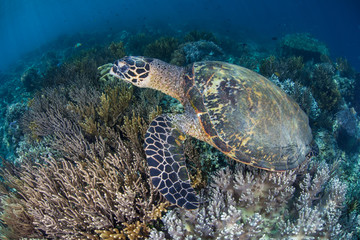 Endangered Hawksbill Sea Turtle in Tropical Pacific