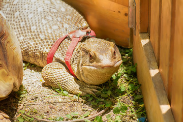 The monitor lizard on a nature background.