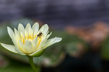 A White lotus blossoms out beautifully in the pond a background