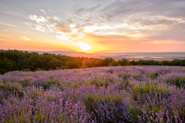 Fotobehang Crimson Lavender flowers blooming. Purple field of flowers. Tender lavender flowers.