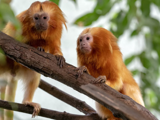 Unusually colored Golden Lion Tamarin, Leontopithecus rosalia