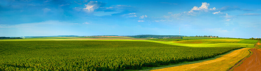 Wall Mural - panoramic view of black currant plantations and agricultural lands with road