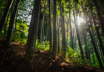 Poster de jardin Bambou bamboo forest with morning sunlight