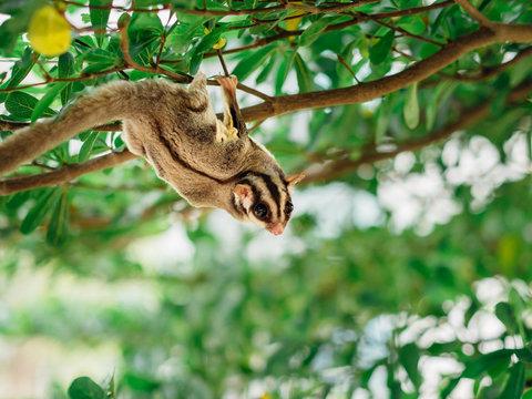 Cute Sugar Glider playing on tree branch.